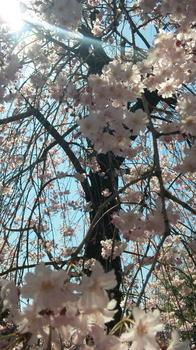 2011年桜.jpg