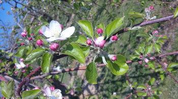 りんごの花芽吹き.jpg