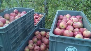 りんご収穫祭.jpg